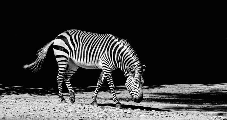 Las-cebras-son-negras-con-rayas-blancas-o-blancas-con-rayas-negras