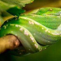 Sabias-que-hay-serpientes-voladoras