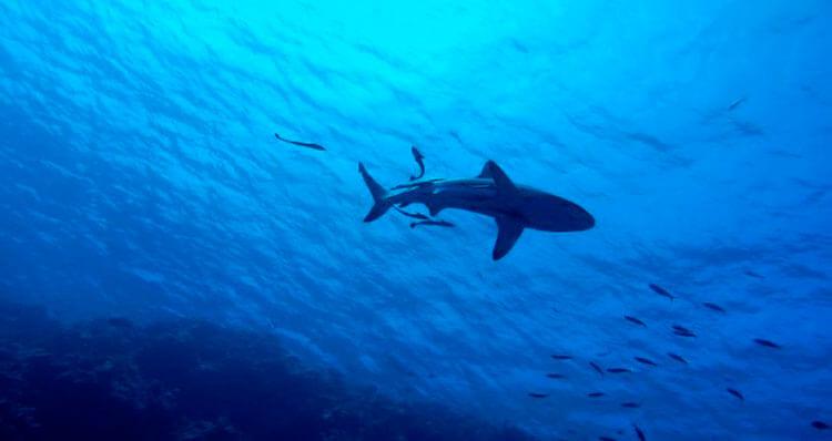 Tienen-huesos-los-tiburones