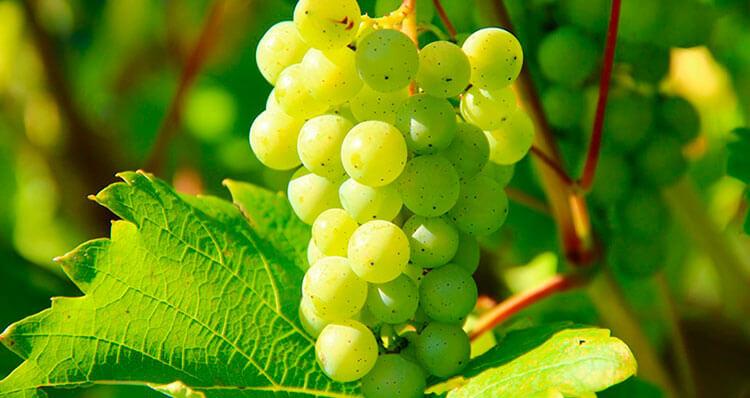 Por-que-tomamos-uvas-en-fin-de-año