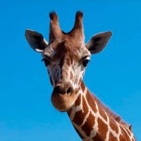 La-jirafa,-el-animal-que-menos-duerme