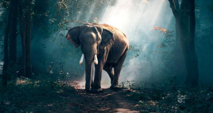 El-embarazo-de-un-elefante-dura-22-meses