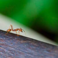 Las-hormigas-levantan-hasta-50-veces-su-peso