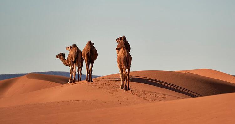 los-camellos-tienen-3-parpados