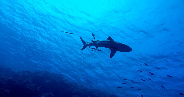 los-tiburones-predicen-catastrofes-naturales