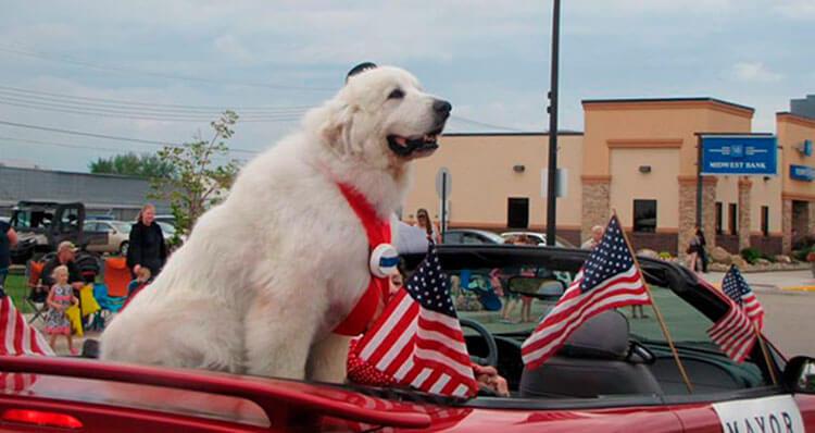 El-perro-alcalde-de-Minnesota-Duke