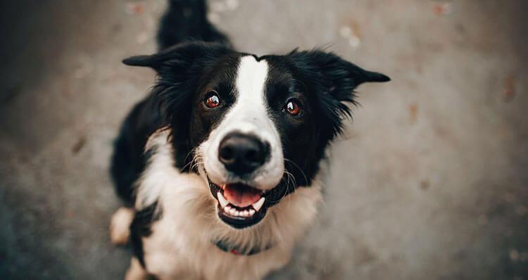 Si-tu-perro-mueve-la-cola-hacia-la-derecha-significa-que-esta-contento