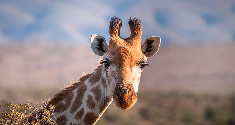 La-lengua-de-una-jirafa-puede-medir-hasta-50-cm