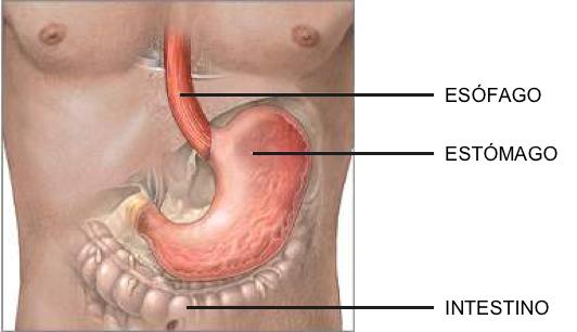 Estómago situado entre el esófago y el instestino